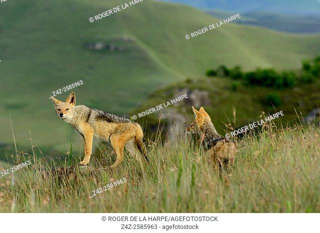 Black-backed jackal (Canis mesomelas) pair. Giant's Castle Game Reserve. Ukhlahlamba Drakensberg Park. KwaZulu Natal. South Africa