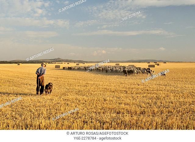 The shepherd with his dog coming home with the herd through a grain field of Castilla. Muñoyerro (Ávila), Spain
