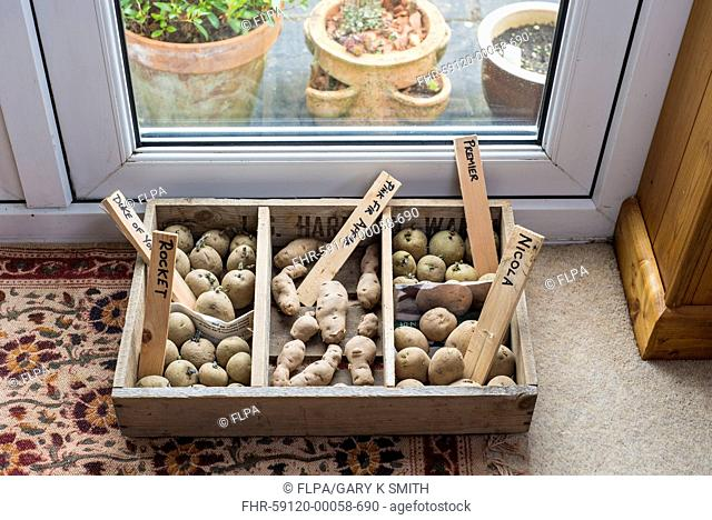 Potato (Solanum tuberosum) 'Duke of York', 'Rocket', 'Pink Fir Apple', 'Premier' and 'Nicola' seed tubers, in chitting tray by lounge french windows, Norfolk