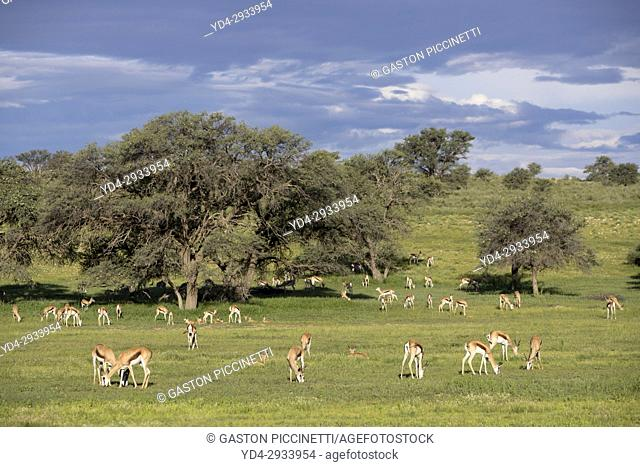 Springbok (Antidorcas marsupialis), stormy clouds and green meadows are part of this wonderful landscape, during the rainy season