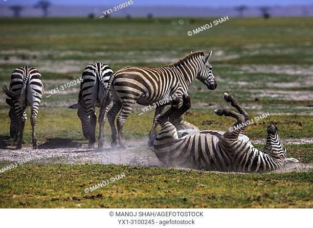 Zebras dusting in Masai Mara