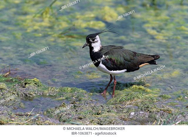 Northern Lapwing (Vanellus vanellus) walking in shallow water