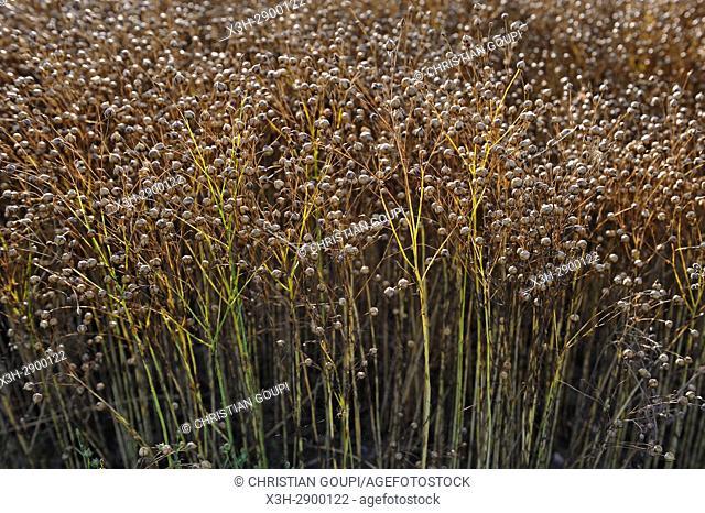 mature flax field, Eure-et-Loir department, Centre-Val de Loire region, France, Europe