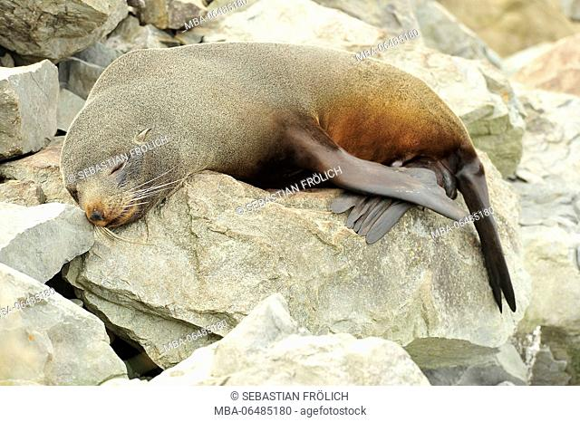 An otary makes after-lunch sleep on a stone at Kaikoura in New Zealand
