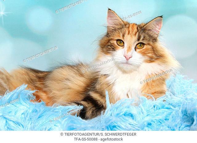 lying Norwegian Forest Cat