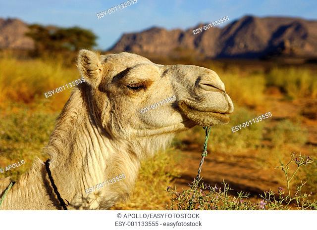 Portrait of a white Mehari riding camel of the Tuareg people, Acacus Mountains, Sahara, Libya