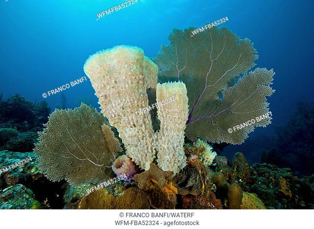 Caribbean Reef with Azur Vase Sponge and Venus Sea Fan, Callyspongia plicifera, Gorgonia ventalina, Santa Lucia, Caribbean Sea, Cuba