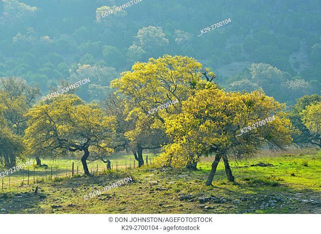 Oak trees in spring, Balcones Canyonlands National Wildlife Refuge, Texas, USA