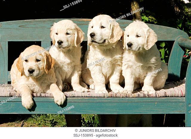 Golden Retriever dog - four puppies on bench