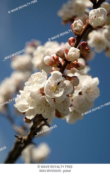 Apricot blossoms, Okanagan Centre, BC Canada