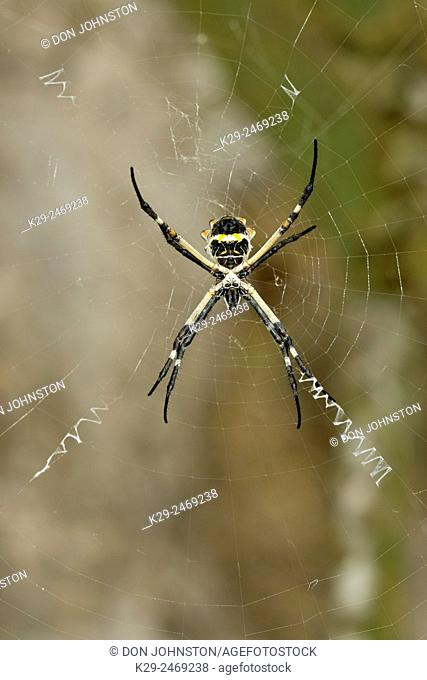 Black-and-yellow argiope spider (Argiope aurantia) in her web, Rio Grande City, Texas