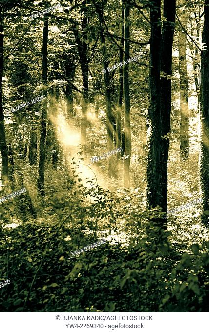 Shafts of light in woodland, Eastern Slavonia, Croatia