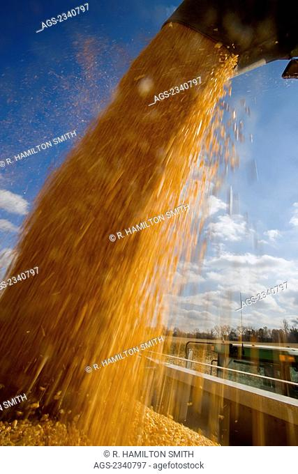 Agriculture - Freshly harvested grain corn being augured from a grain wagon into a grain truck during the Autumn corn harvest / near Northland, Minnesota, USA