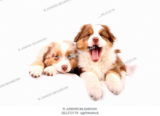 Australian Shepherd. Two puppies (6 weeks old) lying next to each other, one of them yawning. Studio picture against a white background