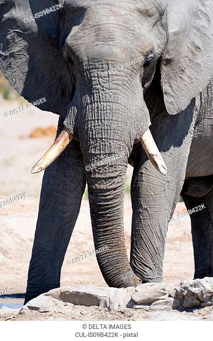 African elephant (Loxodonta africana), Savuti marsh, Chobe National Park, Botswana
