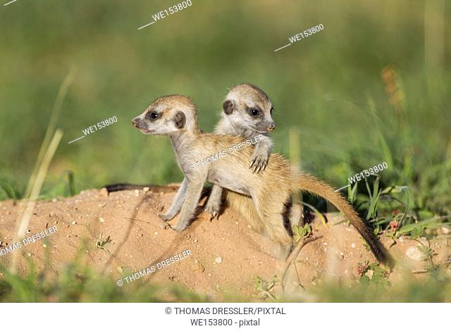 Suricate (Suricata suricatta). Also called Meerkat. Two young at their burrow. During the rainy season in green surroundings