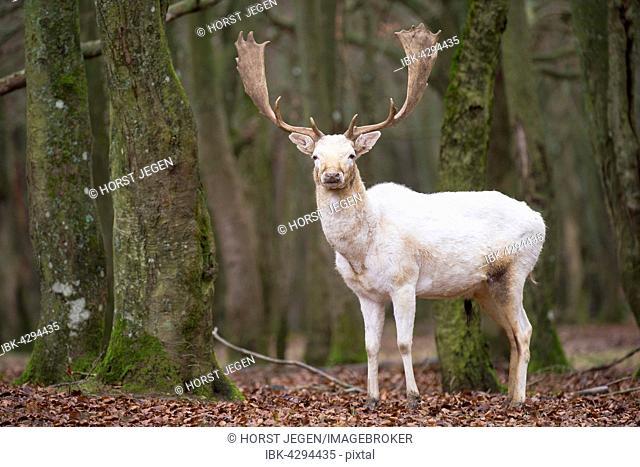 White Fallow Deer (Dama dama), Vulkaneifel, Rheinlad-Pfalz, Germany