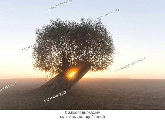 White Willow (Salix alba). Willow in the sunrise, Lower Saxony, Germany