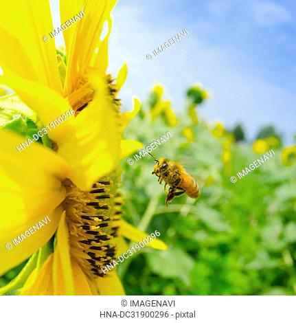Sunflower and bees and blue sky