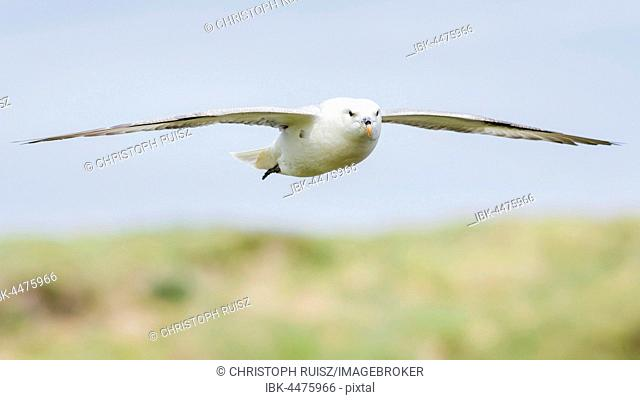 Northern fulmar (Fulmarus glacialis) in flight, Isle of Staffa, Inner Hebrides, Scotland, United Kingdom