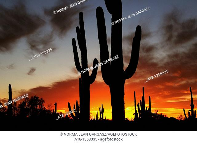 Ironwood Forest National Monument at sunset near Marana, Arizona, USA, in the Sonoran Desert