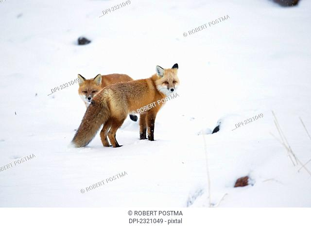 Red Foxes (Vulpes Vulpes) In The Snow Along The Shores Of The Hudson's Bay;Churchill Manitoba Canada
