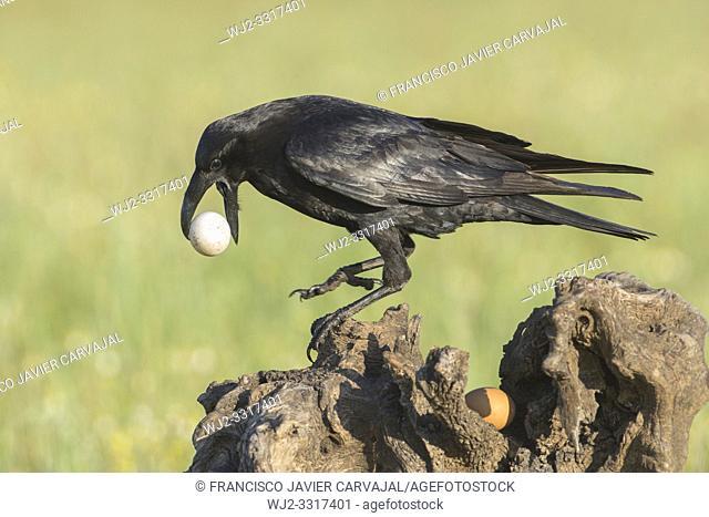 Common raven (Corvus corax) eating eggs, in Extremadura, Spain