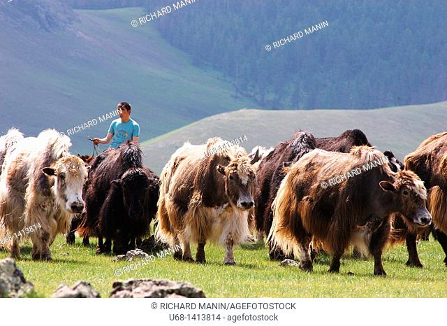 Yaks, Orkhon Valley, Ovorkhangai district, Mongolia