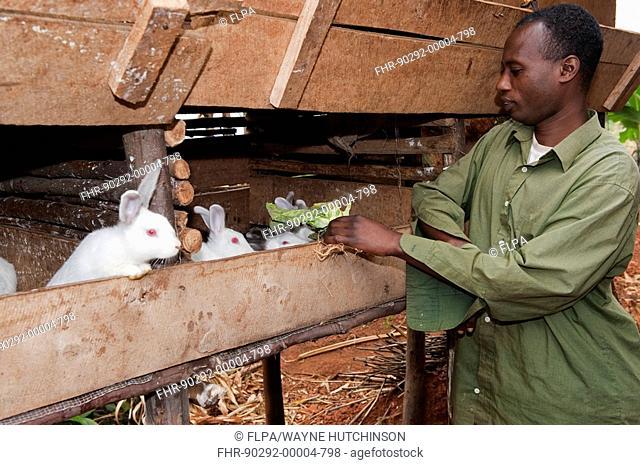 Rabbit farming, man feeding albino rabbits in hutch, kept for meat, Rwanda