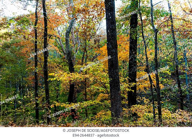 Autumn color in a mixed deciduous and pine forest, Alabama, USA