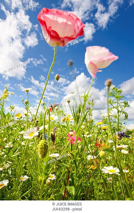 Close up of poppy flower in wildflower meadow