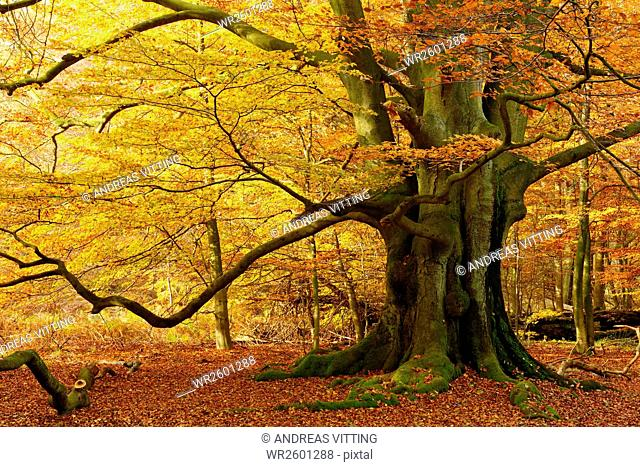 Huge old beech in a former pastoral forest at autumn, Sababurg or Reinhardswald Forest, Hesse, Germany