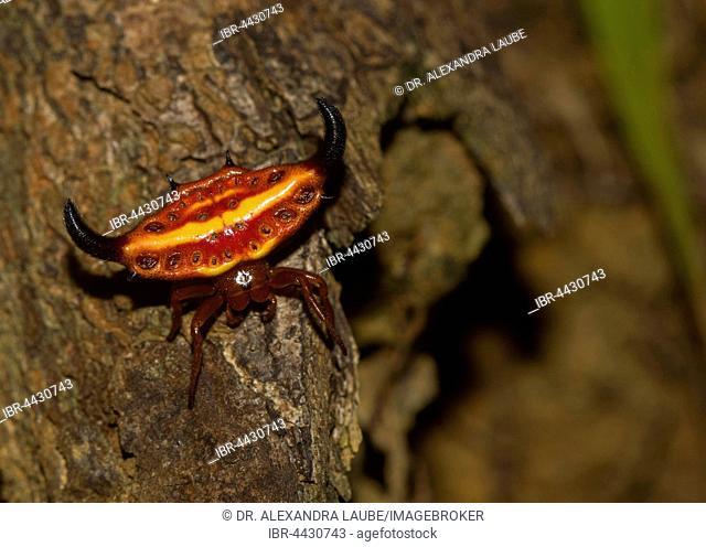 Females stirrup shell (Gasteracantha Thorelli) in the rainforest, Lokobe National Park, Nosy Be island, Northwest Coast, Madagascar
