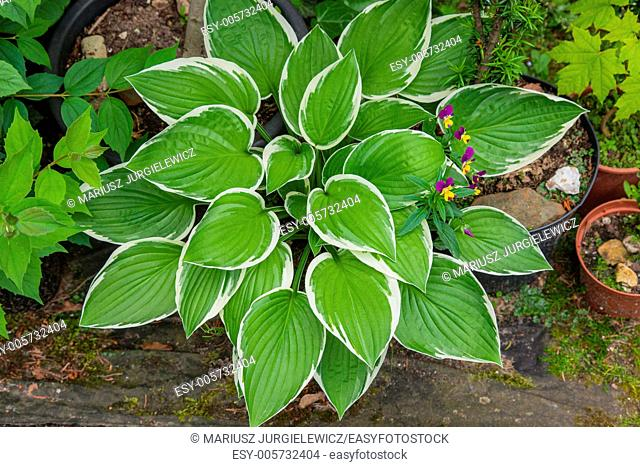 Hostas are widely cultivated as shade-tolerant foliage plants