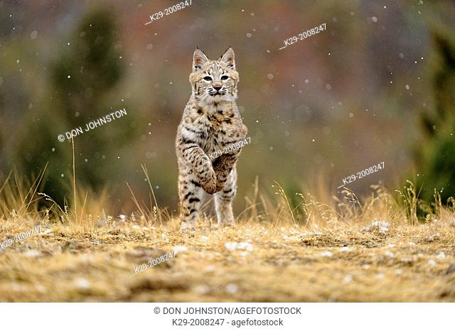 Bobcat (Lynx rufus) Young individual hunting in late autumn mountain habitat, Bozeman, Montana, USA