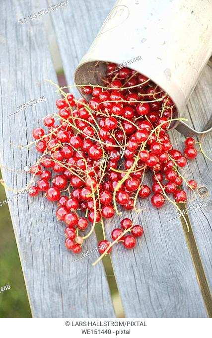 Red currants on wooden table in garden. Fresh berries harvested. Summer gardening