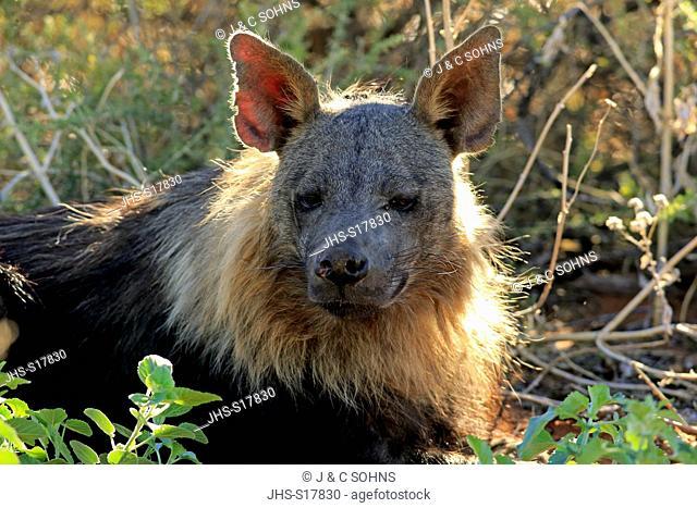 Brown hyena, (Parahyaena brunnea), adult portrait, Tswalu Game Reserve, Kalahari, Northern Cape, South Africa, Africa
