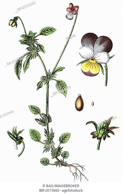 Viola tricolor var maritima (Viola tricolor var maritima), medicinal and useful plants, chromolithography, 1880