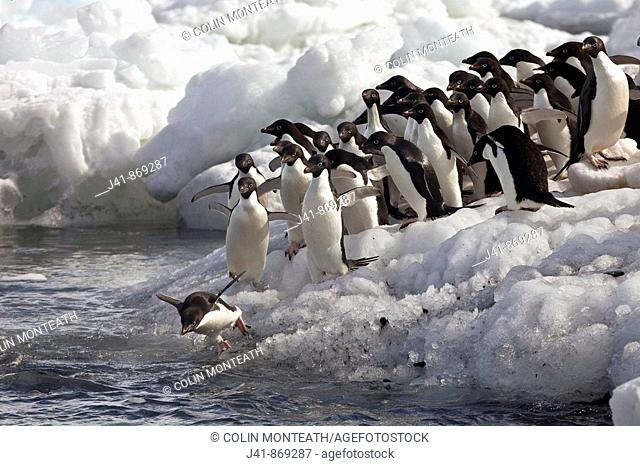 Adelie penguins diving off beach, Possession Islands, northen Ross Sea
