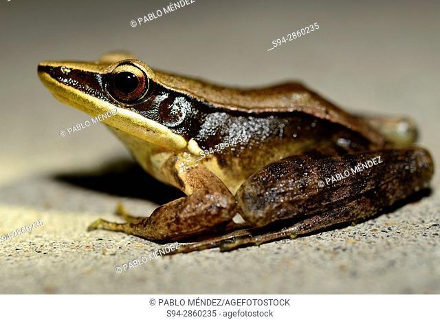 Urban Golden-Backed frog (Indosylvirana urbis) in surroundings of Marayoor, Idukki province, Kerala, India