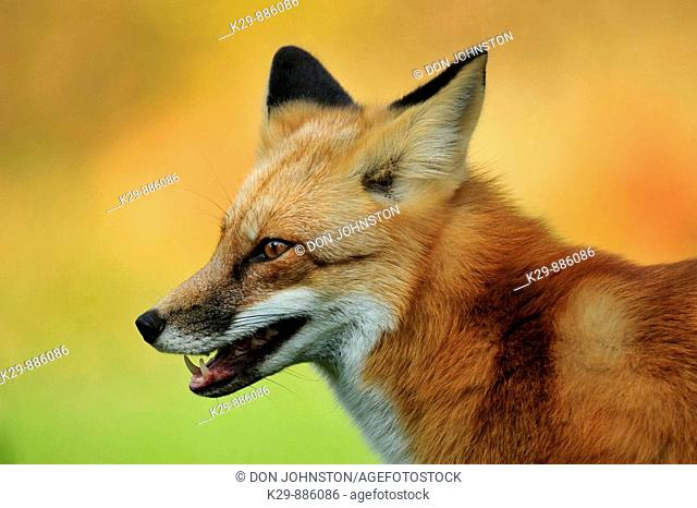 Red fox (Vulpes vulpes). Tame cottage visitor in autumn. Near Sudbury, Ontario
