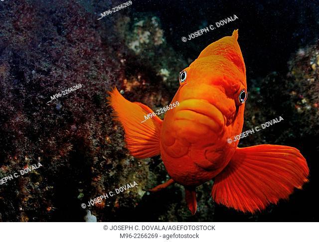 Male Garibaldi fish guarding nest, Anacapa Island, California, USA