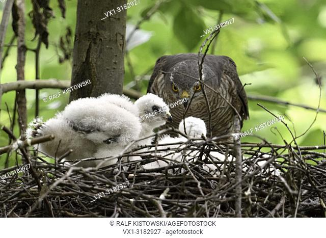 Sparrowhawk ( Accipiter nisus ), adult female perched on the edge of its nest, caring for its young chicks, wildlife, Europe