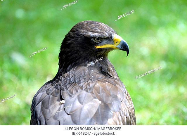 Steppe Eagle (Aquila nipalensis), Hellenthal Zoo, North Rhine-Westphalia, Germany, Europe