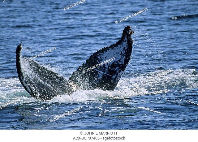 Humpback whale tail slapping, West Coast, British Columbia, Canada