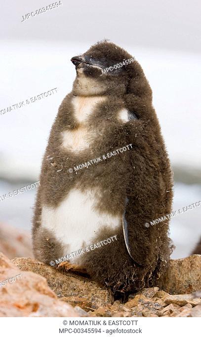 Adelie Penguin (Pygoscelis adeliae) chick soon ready to fledge, western Antarctica