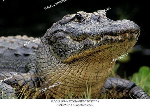 American alligator (Alligator mississippiensis) Adult basking, Ding Darling NWR, Sanibel Island, FL, USA