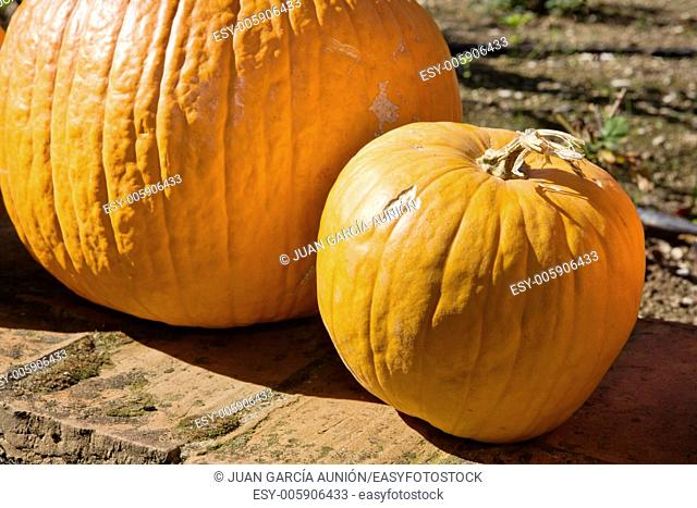 Big orange pumpkins in the sun, Spain