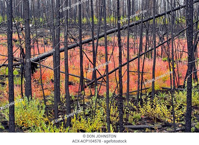 Fireweed in autumn in a forest fire zone, Hwy 3 near Great Slave Lake, Northwest Territories, Canada