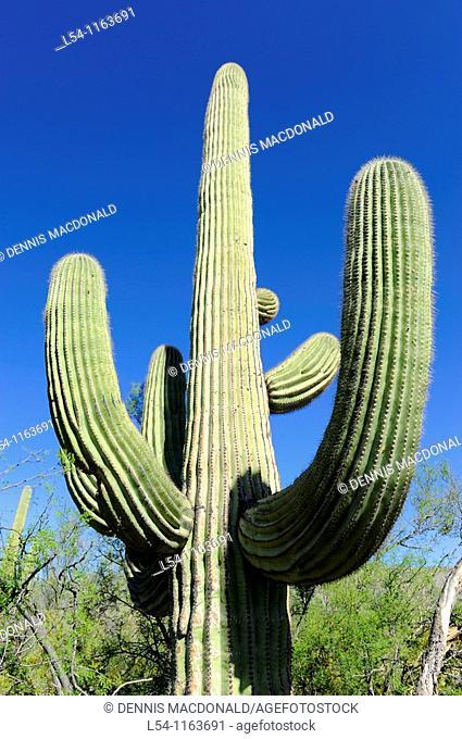 Saguaro Cactus Saguaro National Park Tucson Arizona